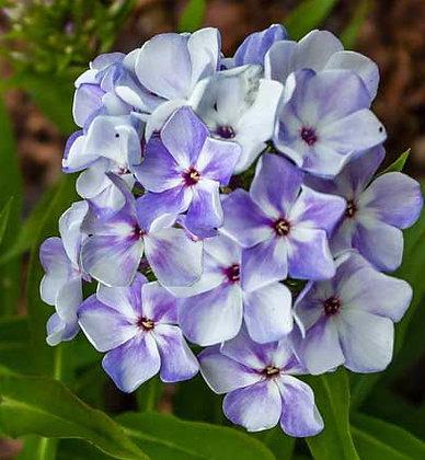 Garden Phlox - Blue Flame
