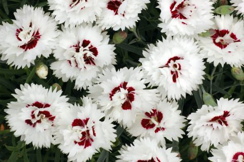 Dianthus 'Silver Star'
