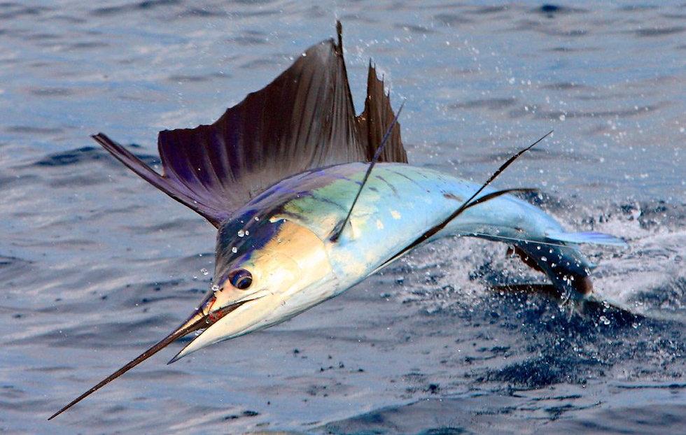 el-pez-vela-el-pez-mas-rapido-del-mundo.