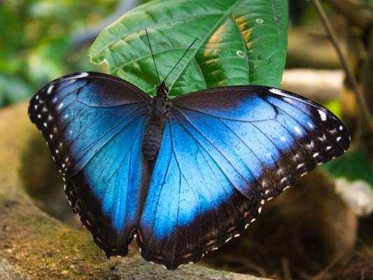 full-blue-morpho-butterfly-monteverde.jp