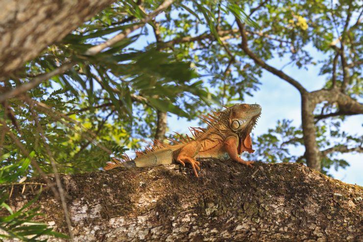 full-green-iguana-tree-palo-verde-nat-pa