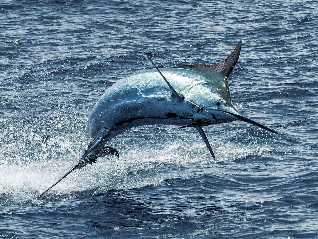 featured-fishing-article-marlin.jpg