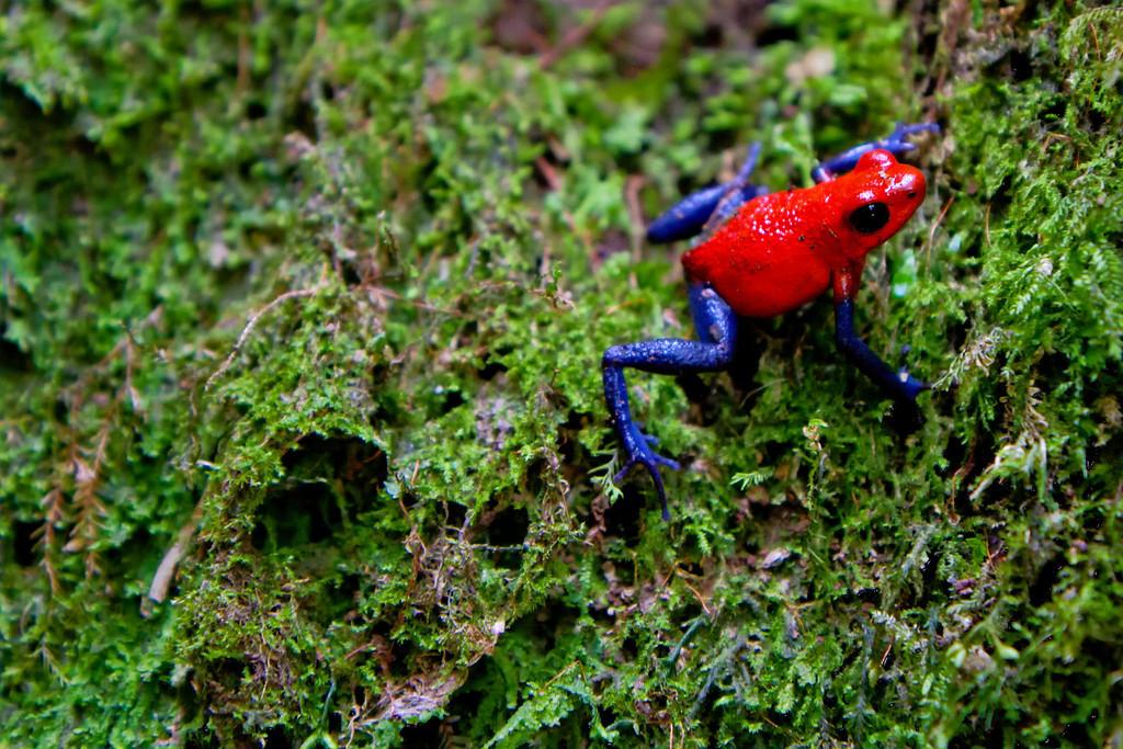 rio-celeste-poison-dart-frog-XL.jpg