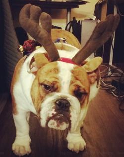 Harry Reindeer