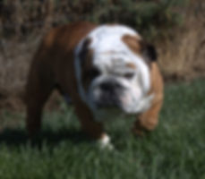 Lake Vallley's What a Hunk Titus, Bulldog Stud in Washington State