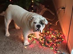 Gus christmas lights dec. 2015