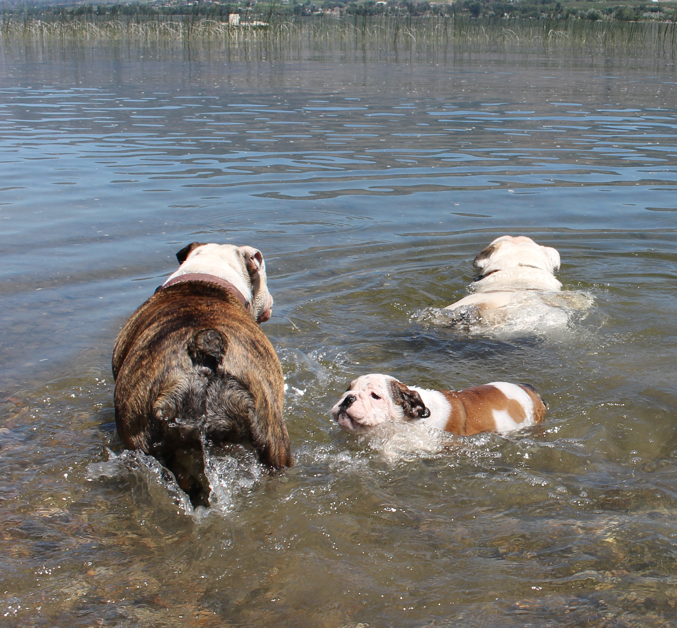 dogs swimming 2015 1