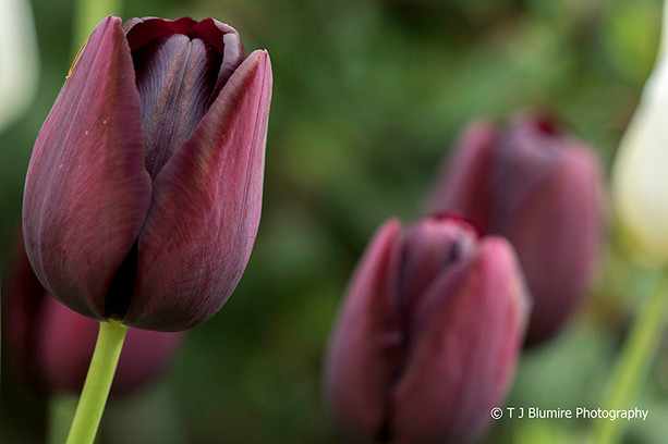 Purple Tulip 1