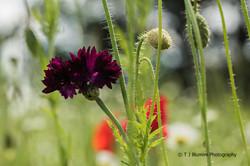 Poppy Fields 3