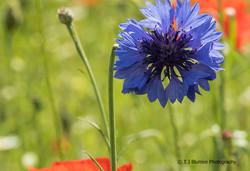 Poppy Fields 5