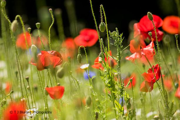 Poppy Fields 6