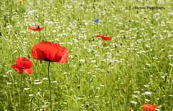 Poppy Fields 8