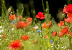 Poppy Fields 4