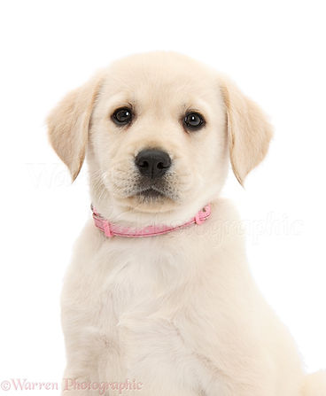 44770-Yellow-Labrador-Retriever-puppy-wi