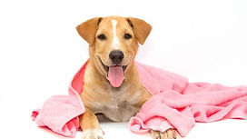 Dog-After-The-Bath-With-A-Pink-107836082