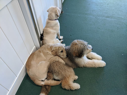 Puppy Daycare-For Pups 2-6 Months-Training Available During Daycare!