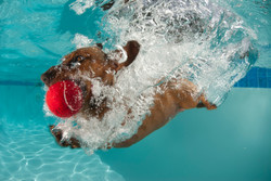 Meet Henry—our diving Dachshund