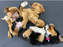 Puppy Playtimes-DROP OFF CURBSIDE WITH OUR PUPPY VALET & WATCH ON OUR WEBCAM! Monday-Friday-$25