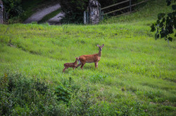 Deer 1Small