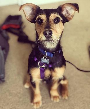 puppy training london
