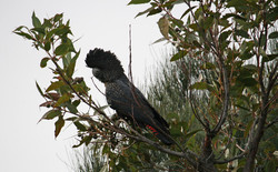 Forest Red-Tailed Black Cockatoo