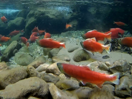Kokanee Salmon Run: Causey Reservoir, Utah