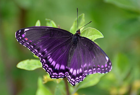 purple-butterfly1.jpg