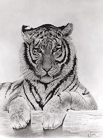 pencil art, tiger art, canadian art