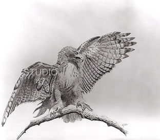 canadian art, hawk art, pencil art, bird art, west coast art