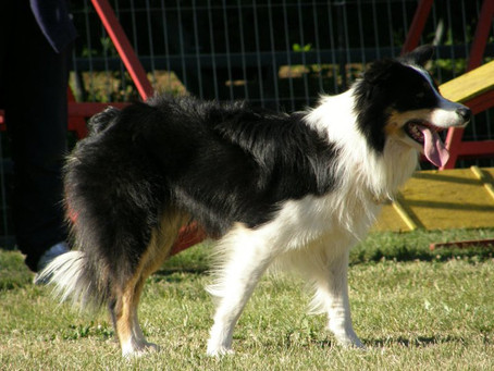 Como treinar meu cão?