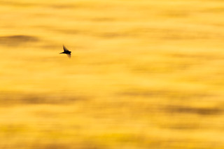 boerenzwaluw