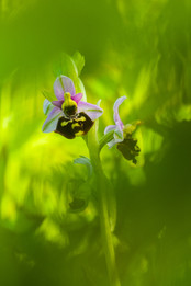 Hommelorchis - Late Spider-orchid (Ophrys fuciflora)