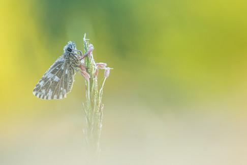 Aardbeivlinder - Grizzled skipper (Pyrgus malvae)
