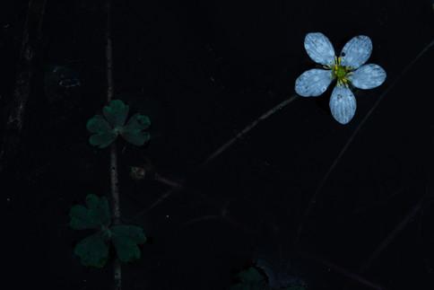 Witte waterranonkel - White flowered Buttercup (Ranunculus ololeucos)