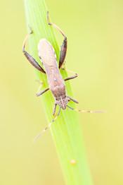 Camptotus lateralis - Wants