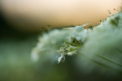 Krabspin - Flower crab spider