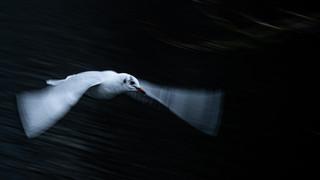 Vliegende kokmeeuw