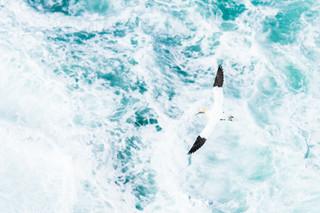 Jan-van-gent boven de zee