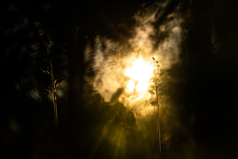 Rond wintergroen - Round-leaved wintergreen (Pyrola rotundifolia)
