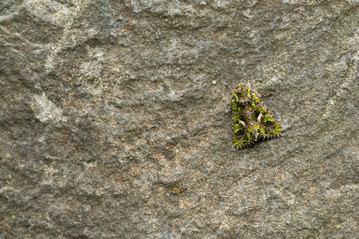 Meldevlinder - Orache Moth (Trachea atriplicis)