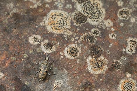 Geelzwarte ribbelboktor - Blackspotted pliers support beetle (Rhagium mordax)