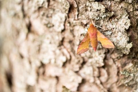 Klein avondrood - Small Elephant Hawk-moth (Deilephila porcellus)