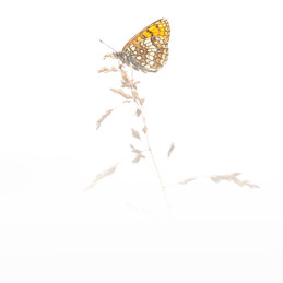 Bosparelmoervlinder - Heath fritillary (Melitaea athalia)