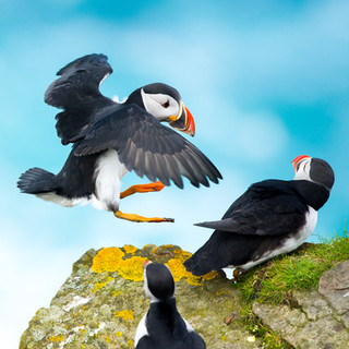 Papegaaiduiker debat