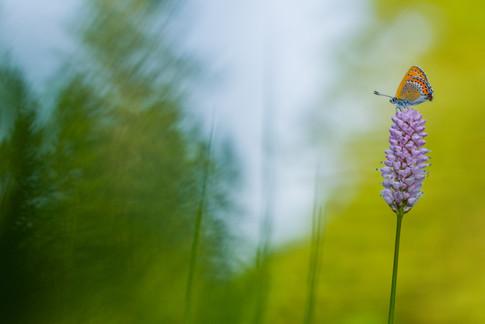 Blauwe vuurvlinder - Violet copper (Lycaena helle)