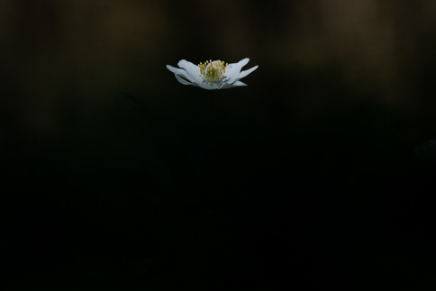 Bosanemoon - Wood anemone (Anemonoides nemorosa)