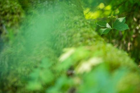 Eenbes - Herb-paris (Paris quadrifolia)