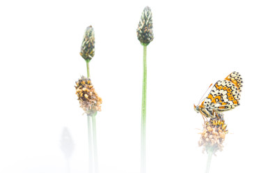 Veldparelmoervlinder - Glanville Fritillary (Melitaea cinxia)
