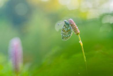 Ringoogparelmoervlinder - - Bog fritillary (Boloria eunomia)