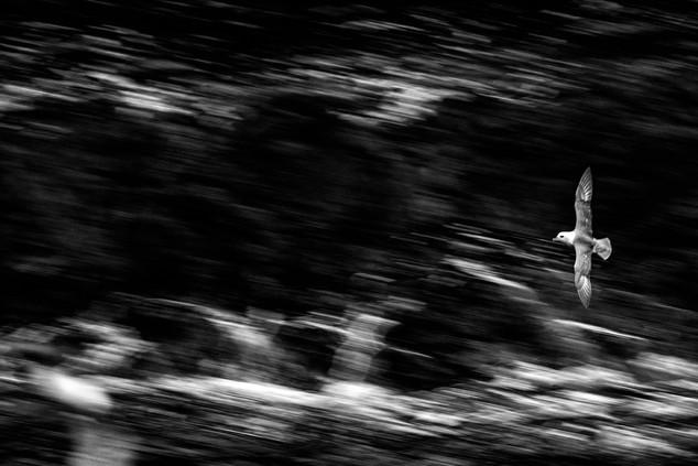 Noorde stormvogel II